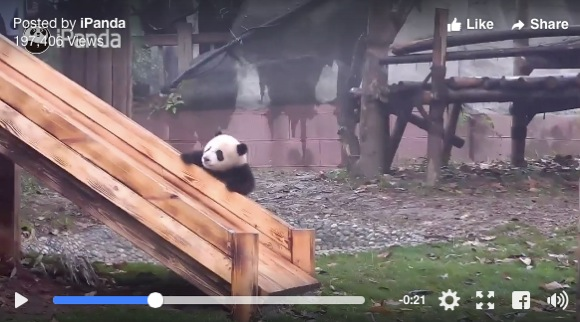 パンダが滑り台で遊んだ後にゴロゴロしまくる動画が恐ろしいほどカワイイ