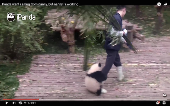 【キュン死】飼育員さんに構って欲しくて甘える「子パンダ」が激カワすぎて悶絶不可避