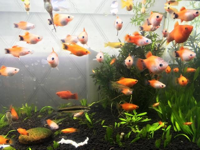 【半年で14.5倍】熱帯魚「ミッキーマウスプラティ」の繁殖能力がハンパない