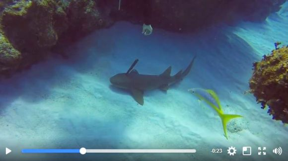 ダイバーが「頭に刃渡り30センチのナイフが刺さったサメ」を発見! SOSサインを送って来たサメをダイバーが救出する展開に