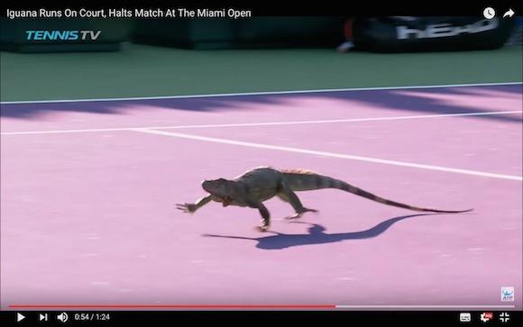 【珍動画】テニスの試合にまさかのイグアナ乱入 → コート内を大暴走して試合は一時中断する羽目に