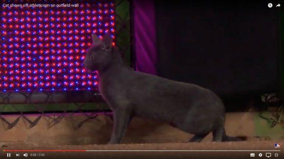 【動画あり】メジャーの試合に猫が乱入 → 勝利の象徴として人気者になる