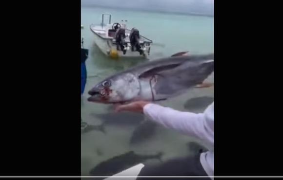 【恐怖】大型肉食魚がいる中にエサを投げ込んだ映像がマジで地獄絵図だと話題