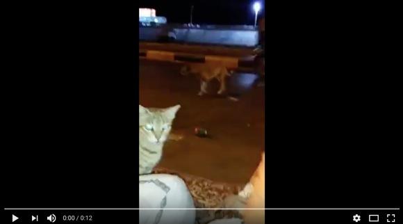 犬から隠れるために「人間のふり」をする猫が激撮される