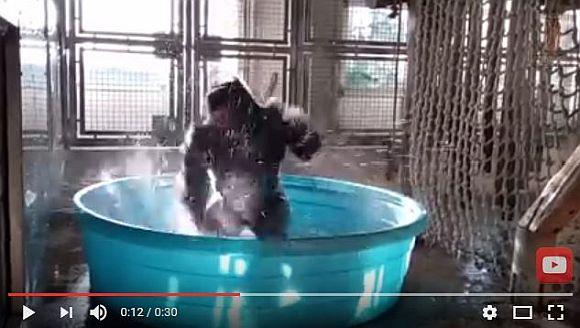 【人間かよ】プールで水浴びダンスをするゴリラが超話題! ダンサー顔負けの踊りがキョーレツすぎて爆笑もの!!