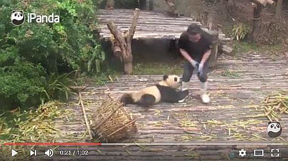 飼育員を邪魔しまくるパンダが可愛すぎてニヤニヤが止まらない! 1分の動画で萌えまくっちゃうこと間違いナシ!!
