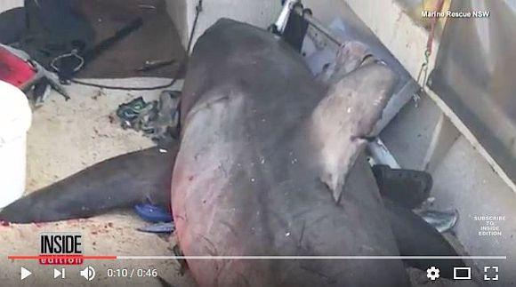【リアルジョーズ】体長3メートルの「人喰いザメ」がボート内にダイブ! 73歳のおじいちゃんが危機一髪の事態に!!
