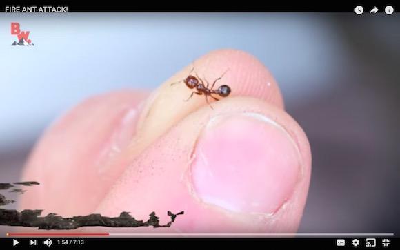 【閲覧注意】ヒアリに刺されるとこうなるって動画