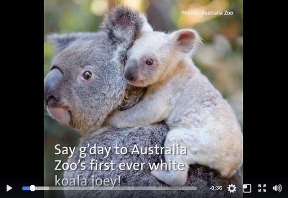 オーストラリアで超珍しい「白いコアラの赤ちゃん」が誕生! 一般に向けて名前を募集しているぞ!