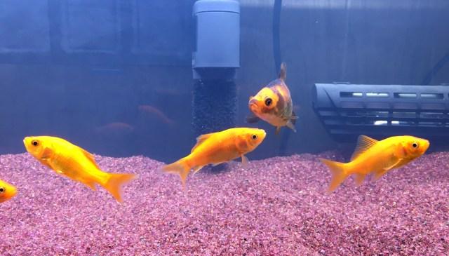 【予想外の連続】『金魚』を飼ってみてわかったこと / 大事なポイントは水槽選び!