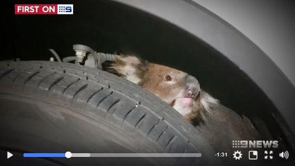【九死に一生】タイヤの裏にコアラがしがみついたまま車が発進 → 16キロ走るも奇跡的に無事!