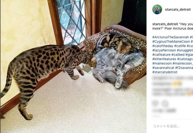 ギネスの認定委員を仰天させた「世界一背が高いネコ」の画像 / 同じ家で「世界一シッポが長いネコ」も飼われているという奇跡!