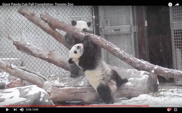 パンダの落下シーンを集めただけなのに「絶対に萌え死ぬ」動画 / かわいすぎるため取り扱い注意