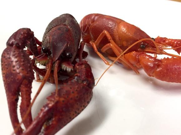 """【検証】「いつか伊勢海老を食べてみたい」という後輩に """"野生のザリガニ"""" をご馳走したらこうなった"""