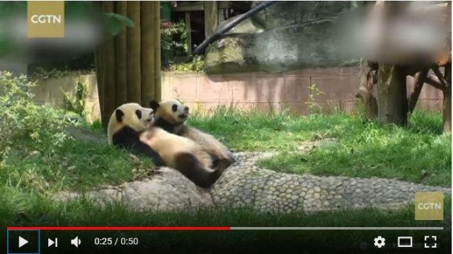 【パンダきゅん】シンクロ率100%! 何をするにも鏡のように息ピッタリな2匹のパンダちゃんが可愛しゅぎて魂抜かれそう