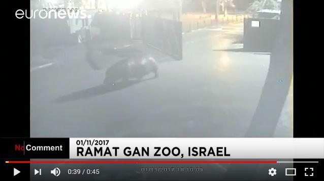 動物園からカバが脱走 → 外界の厳しさを感じたのか2分でカムバックする動画がなんだかカワイイ