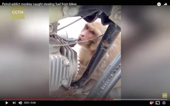 インドで「ガソリン中毒」の猿がバイクからガソリンを盗み飲みする事件が多発