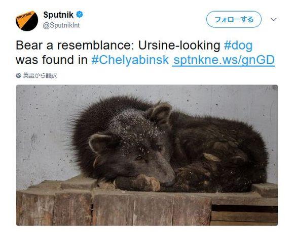 【新種か】クマにソックリな犬がロシアの森で保護される