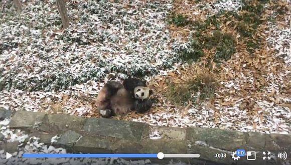 「雪だ~!」と言わんばかりに大はしゃぎするパンダが激カワすぎて鼻血ブー