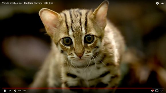 【キュン死覚悟】世界最小のネコ科動物「サビイロネコ」が可愛すぎると話題
