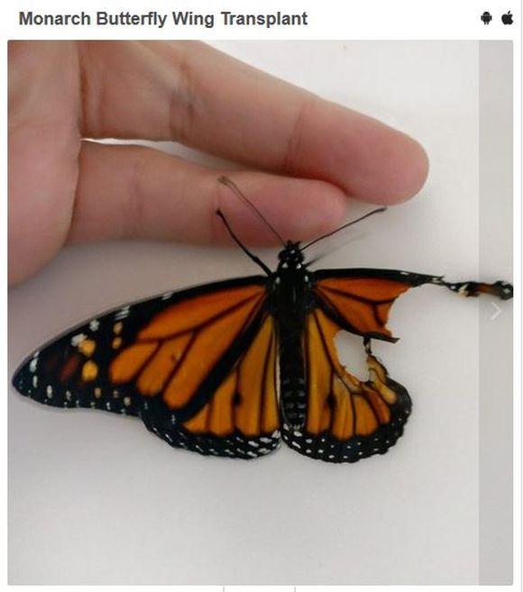 ある女性が「羽のちぎれたチョウ」を家にあった即席の物で手術 → 修復した羽がお見事! チョウも無事に空を飛ぶ!!
