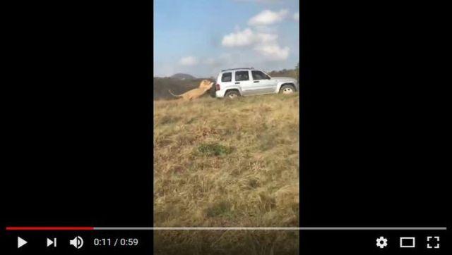 サファリパークでは絶対に車の窓を開けちゃダメ! 野生ライオンが車を襲う動画に震える…