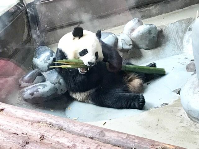 【楽園】生まれて一度も「パンダ」を見たことない男が、中国『成都ジャイアントパンダ繁殖研究基地』に行ってみた結果……