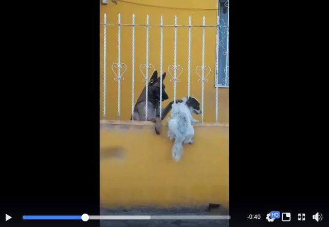 「犬が柵にハマって大ピンチ! 助けたのは…仲良しワンコだった」って動画 / ジャーマンシェパードのヒーローっぷりがヤバい!