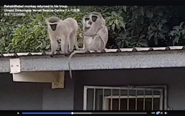 【感動の再会】怪我をして保護された子猿が3週間後に家族の元へ帰る動画が泣ける…ハンカチの用意を忘れずに