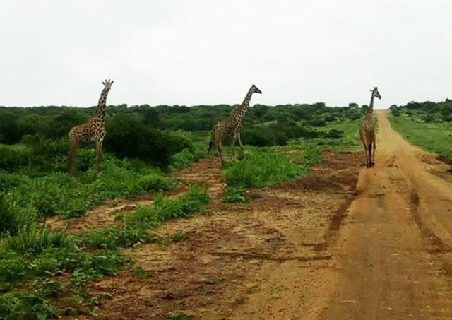 野良ゼブラと野良キリンも撮れたよ〜! マサイの村の野良動物事情 / マサイ通信:157回