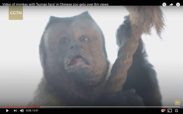【動画あり】どう見ても人の顔をした「人面猿」がこちらです