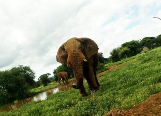 【動画あり】久々に野良ゾウがウチの近くに来たよ / マサイ通信:第156回