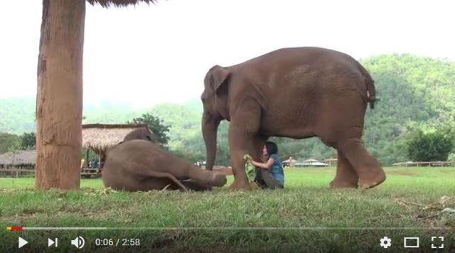 「子ゾウに子守唄を歌って」と飼育係を催促するゾウの動画が超ほのぼの~! 本当に子ゾウが唄で眠りの態勢に入るからビックリ!