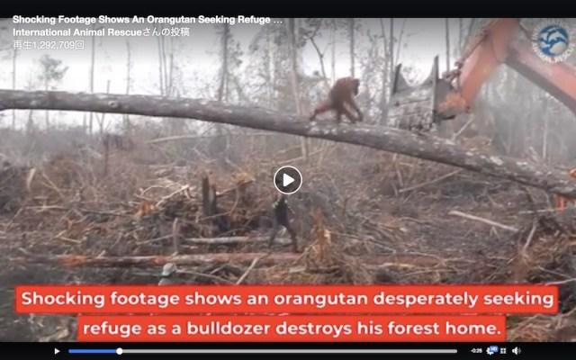 心が痛む…森を伐採するブルドーザーに立ち向かうオランウータンの映像がショッキング