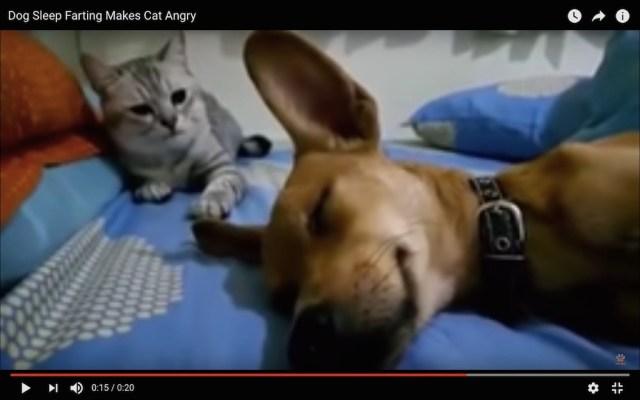 【何度見ても笑える動画】犬が「寝屁」 → 猫が激おこ → ぶん殴り2連発