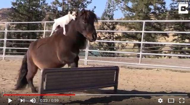 【癒し動画】カワイイよぅ、カワイイよぅ、ミニチュアポニーの背中に乗って乗馬を楽しむワンコが超カワイイよぅ! って動画