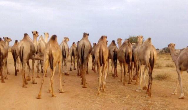 ラクダの大群がいたんでスマホで撮ったらこんな写真が撮れちゃった / マサイ通信:第181回