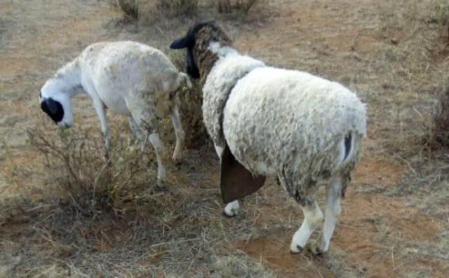 こんなモフモフした羊を見かけたら、どうか安くオレに売ってくれ / マサイ通信:第183回