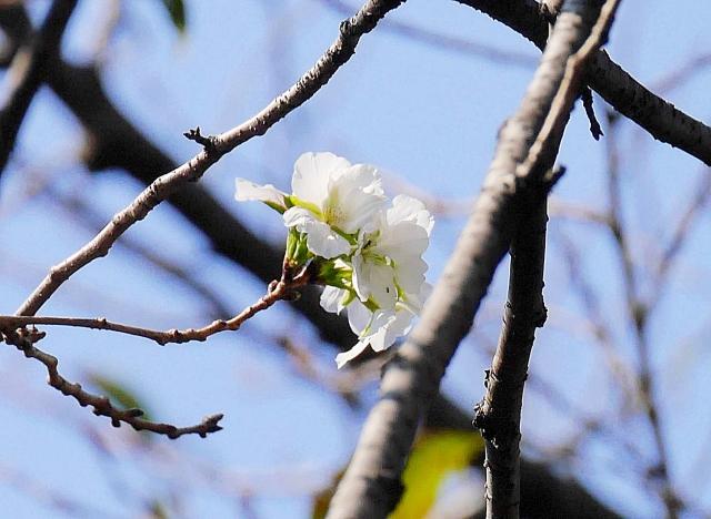 【マジかよ】都内で桜が咲いているらしいので花見をしに行ってみた!