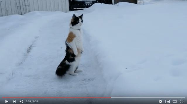 ふぁっ!? 雪にびっくりしてつい仁王立ちになっちゃった猫さん
