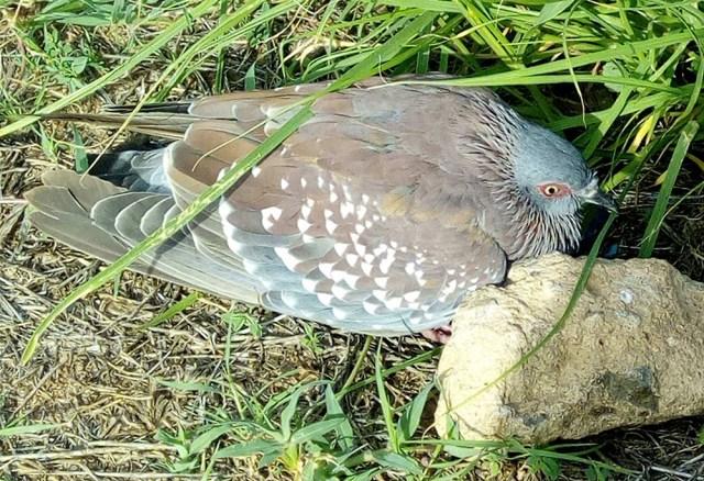 マサイの鳩の鳴き声は「ンドゥクル、ンドゥクル」だ / マサイ通信:第225回