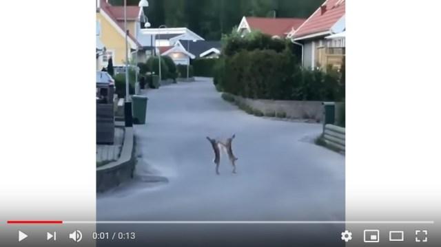 【ノーガード】ウサギ同士が「高山善廣 vs ドン・フライ」ばりにシバキ合う動画