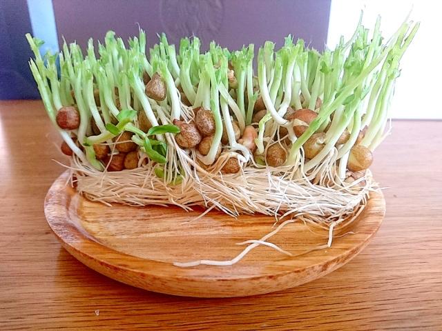 家中を緑化したくてスーパーの「豆苗」を約1カ月育ててみた結果 → 凄まじい成長と共に異変が起きた……