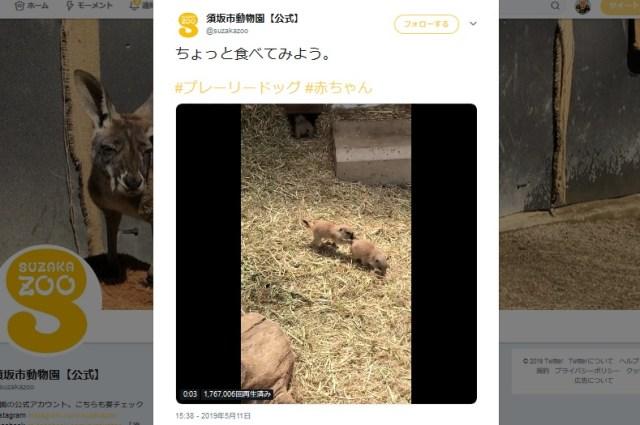 【動画】プレーリードッグの赤ちゃんが可愛すぎるとTwitterで話題 / 癒されまくる人が大量発生する事態に