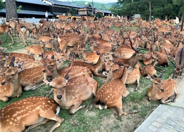 【奈良】一面鹿だらけ!! 夏の風物詩『鹿だまり』って知ってる? 何頭いるの? 何で集まってるの? →調査してみた結果…