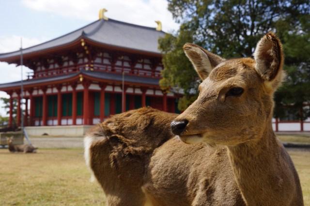"""【奈良】観光客減少で「鹿がお腹を空かせている」って本当? 鹿愛護団体に問い合わせてみた&実際に """"鹿せんべい"""" をあげてみた結果…"""