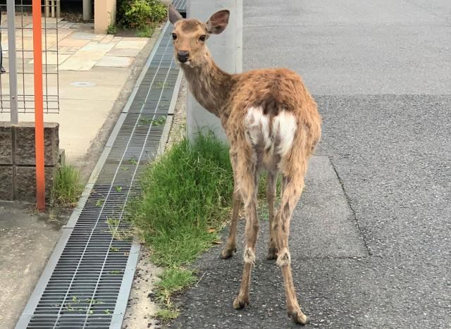 最近鹿の行動範囲が広がっている気がする… このままでは「奈良公園から鹿が消える」のでは⁉︎ → 鹿愛護会に聞いてみた