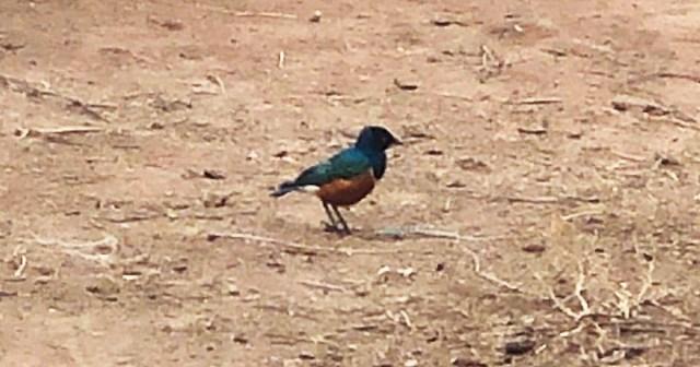 【誰か教えて】マサイの戦士に「よく見る鳥を教えて」と聞いたところ、なぜか「スズメ」についてモメにモメる / マサイ通信:第384回