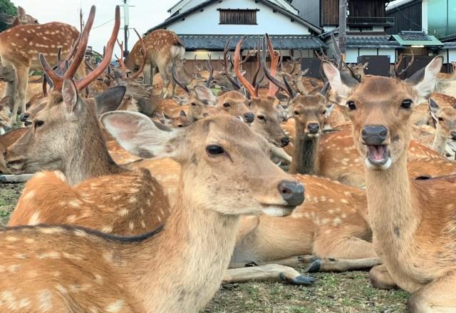 """【2020年夏】今年の『鹿だまり』を見に行ってみた → もしかして鹿も """"密"""" を避けているのでは…? 奈良の鹿愛護会に聞いてみた!"""