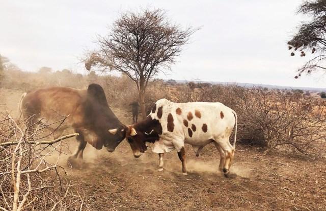 【動画あり】牛がケンカしてたよ / マサイ通信:第413回